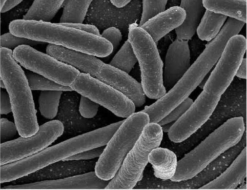 溶珊瑚弧菌外观直接观察鉴定