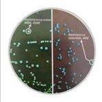 耐药金葡菌快速显色培养基