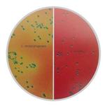 李斯特菌显色琼脂(改良型)