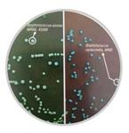 显色培养基耐药金葡菌快速