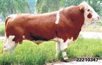 养牛喂什么料肉牛催肥预混料厂家