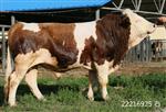种牛预混料肉牛预混料供应厂家