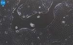 人胰腺癌�胞/STR�b定/�百慷(iCell)