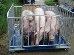 成都有�u�L2米��1.2米的�子牲畜秤